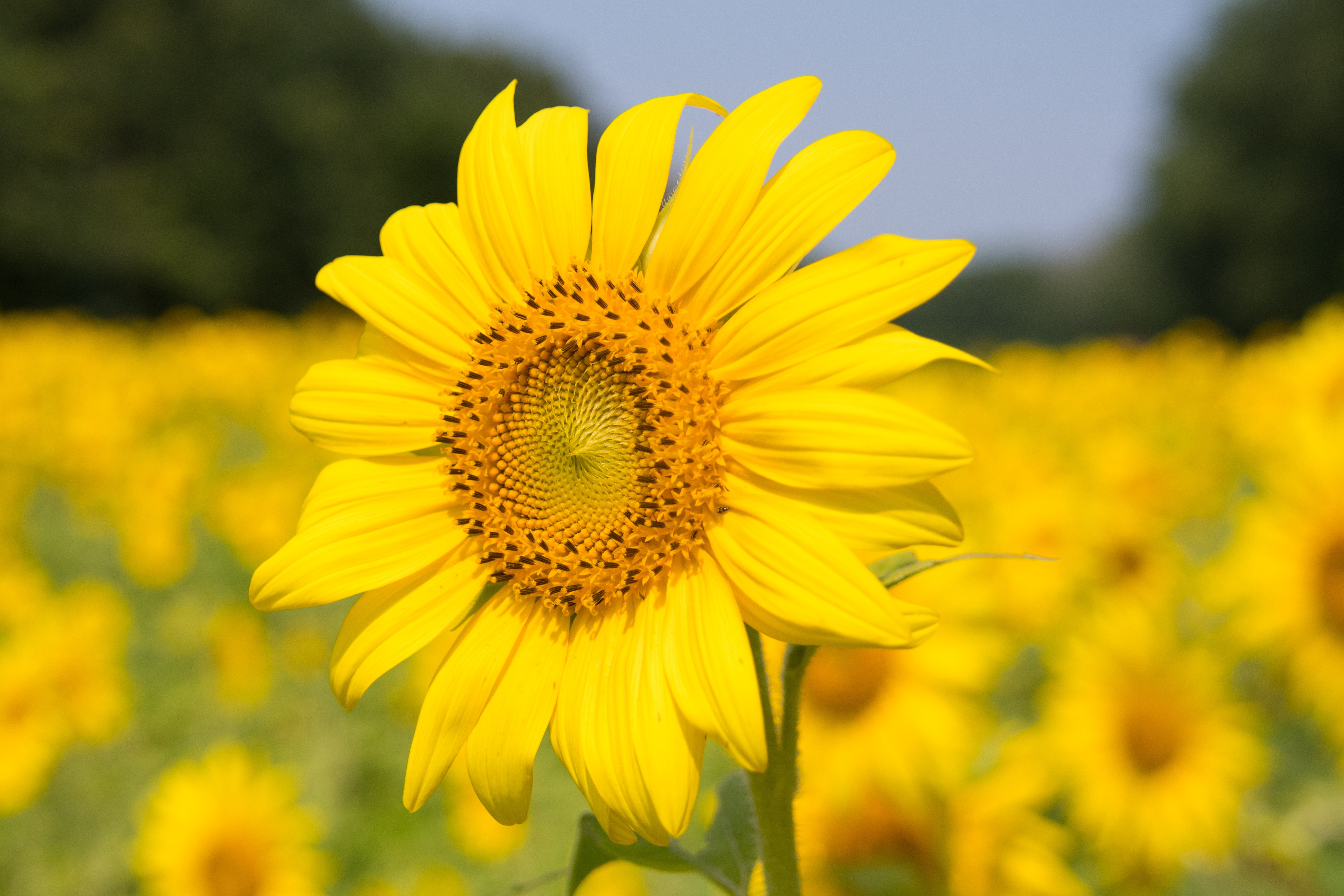 Organic yellow sunflower, one of our ingredients