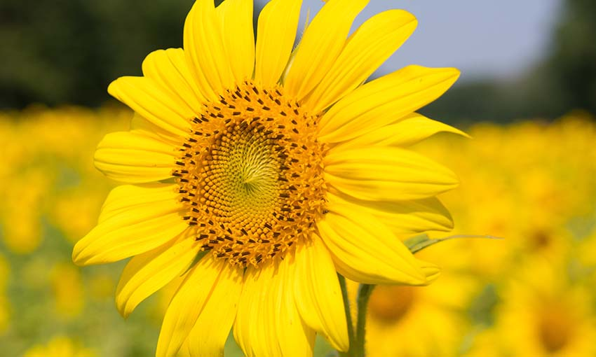 Organic sunflower oil is an important ingredient in our products